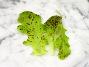 lettuce-flashy-butter-oak1