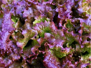 lettuce-sunset-IMG_4306-001