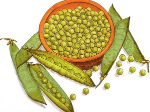 Pea-illustration-art-web