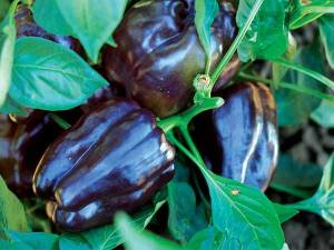 Purple-Beauty-Pepper-web
